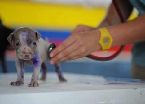 A puppy being examined by a vet